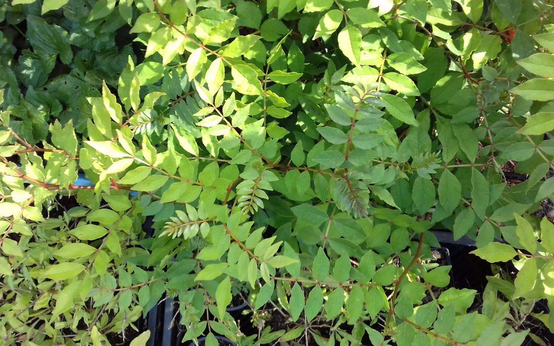 Winterharde Szechuan peper, Heerlijke peperbolletjes en aromatisch blad uit eigen tuin!