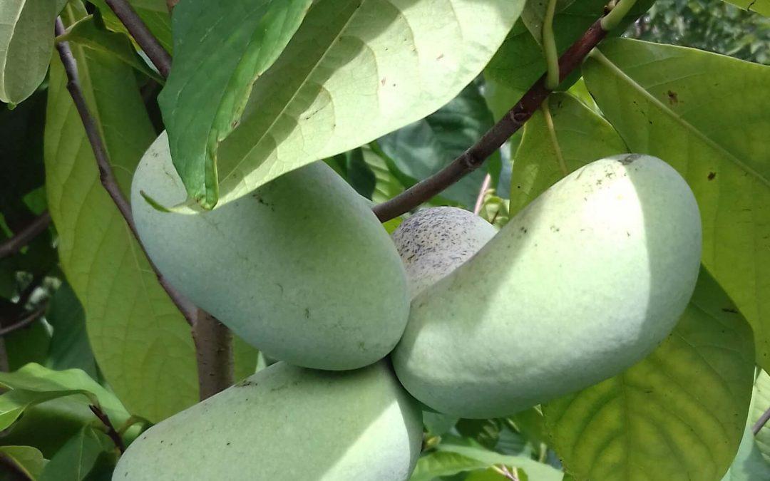 Pawpaw(Asimina tribola) wat is een pawpaw,  hoe smaakt de pawpaw?