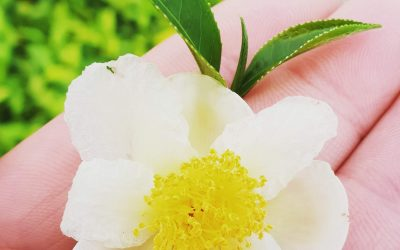 Winterharde Theeplant in Nederland?! Camellia sinensis 'Tea by Me'®