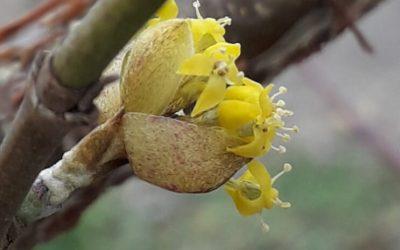 Vroege voorjaarsbloeiers, nuttig voor (solitaire)bijen en hommels, mooi in de tuin en ook heerlijk fruit.