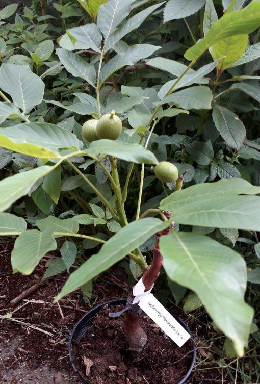 minimultiflora in pot met noten